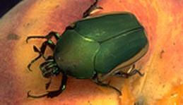 Green fruit beetle adult