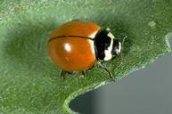 Adult ninespotted lady beetle.