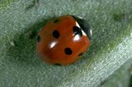 Adult sevenspotted lady beetle.