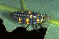 Sevenspotted lady beetle larva eating an aphid