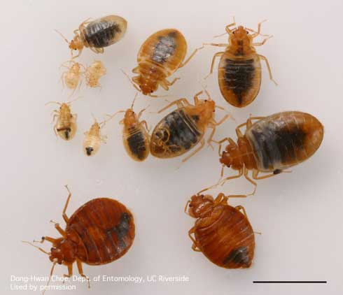 image of a bed bug over time