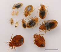 Bed bugs adults and nymphs. Scale bar represents 5 millimeters.