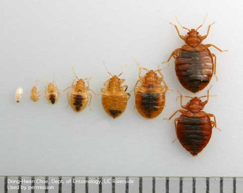 Bed bug at different stages of lifecycle