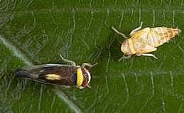 Mountain leafhopper adult and nymph