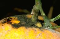Sooty mold on an orange. Citricola scales on the stem produced the honeydew.
