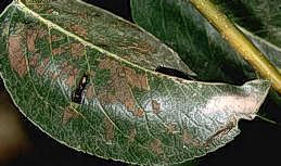 Skeletonized leaves caused by pearslugs
