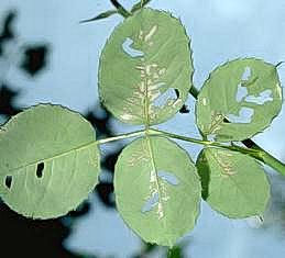 Skeletonized leaves caused by bristly roseslug