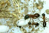 Camponotus vicinus worker ants with pupa.