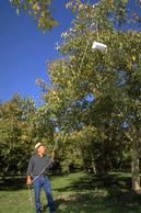 Pulling a delta trap high into the tree canopy to monitor codling moth flights.