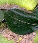 Leaves tied to fruit