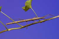 Figure 1. Indian walking stick adult.