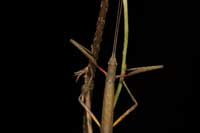 Figure 3. If an adult female Indian walking stick is in danger of being harmed, it will splay its forelegs to reveal a bright red patch on its inner femora near the attachment point to the body. This red marking distinguishes the Indian walking stick from native California species.