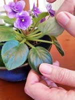Examining leaves of an African violet houseplant for pests.
