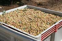 Harvested pistachios.