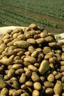 Harvest of spud potatoes.