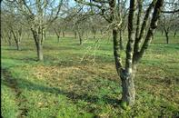 Orchard and dormant branch to be sampled for aphid eggs.