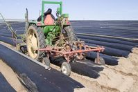 A tractor-drawn device cuts slits in the polyethylene mulch, through which bare-root strawberry transplants will be planted.