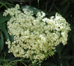 Flowers of elderberry
