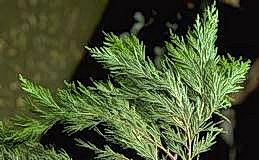 Foliage of an incense cedar tree