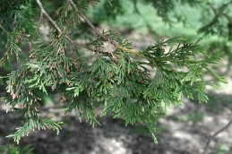 Foliage of western red cedar