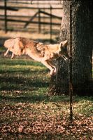 Coyotes have the ability to go under, through, or over many types of fences.