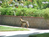 Some coyotes have adapted to life in residential neighborhoods, parks, and open spaces.