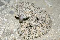 Young speckled rattlesnake (Crotalus mitchellii) is born with a button on its tail in place of a rattle.