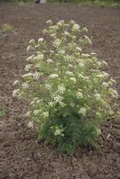 Mature poison hemlock.