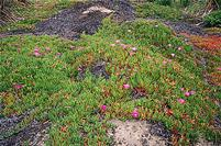 Hottentot fig, Carpobrotus edulis, infestation in a sand dune.