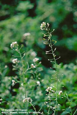 Shepherd's-purse, a weed in the mustard family