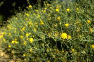 Mature plant of yellow starthistle.