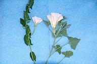 Field bindweed (left) and the larger flowers of western morningglory (right).