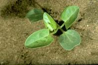 Field bindweed seedling.