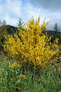 Brooms are upright shrubs that produce yellow flowers in spring. Most species also generate new leaves in the spring but often lose them during hot, dry summer months, creating a whisk broom appearance. Shown here is Scotch broom, Cytisus scoparius.