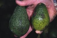 Avocado fruit with black specks or lesions of anthracnose, caused by Colletotrichum gloeosporioides.