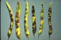 Anthracnose symptoms on bean pods.