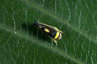 Adult mountain leafhopper.