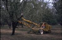 Harvesting practices showing almond shaker machine.