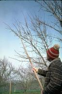 Using a pole to remove almond mummies and reduce the overwintering population of navel orangeworm.
