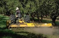 Preparing orchard floor before harvest by cultivation.
