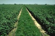 Intercropping of cotton and alfalfa.