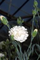 Carnation, Dianthus caryophyllus, blossom and buds.