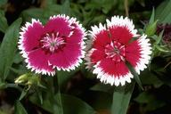 Sweet william, Dianthus barbatus, blossoms.