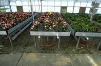 Potted impatiens growing in a well-maintained greenhouse.