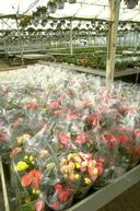 Harvesting of begonia.