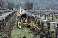 Using a French plow to remove weeds in the vine row.