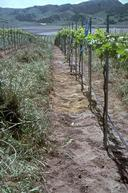 Young vineyard with vine rows that have been cleared by hand.