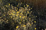 Photo of Yellow Starthistle