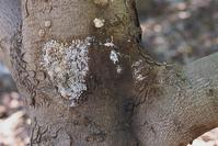Dothiorella canker, Phtophthora canker, and collar rot