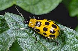 Western spoted cucumber beetle